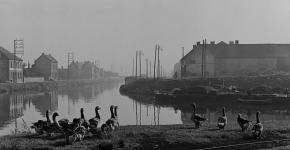 Des oies le long d'un canal du nord