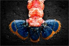 Tail red and blue lobster